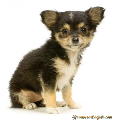long haired chihuahua pictures. cute long haired chihuahua